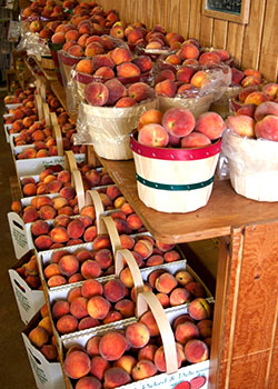 Selecting, storing peaches from The Peach Barn, locally grown peaches and produce in Porter, Oklahoma