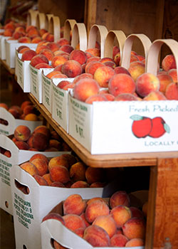 Delicious ripe peaches perfect for pies and cobblers at the Peach Barn Orchard and Bakery in Porter, Oklahoma.